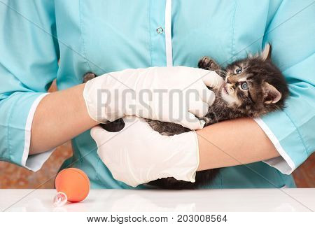 Cute siberian kitten frightened by veterinary survey close-up