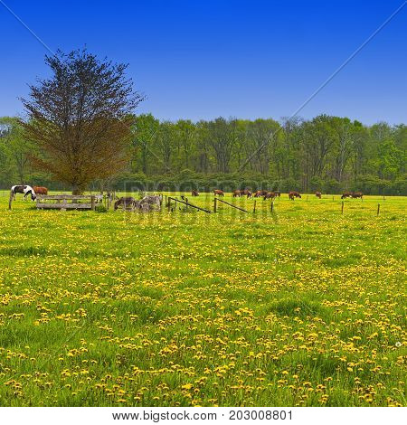 Cows and bulls grazing on meadows in Holland. Cows on on farmland in the Netherlands