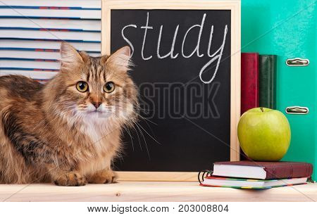 Scientific siberian cat with educational accessories concept