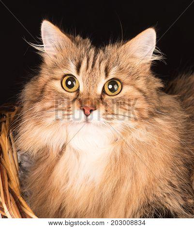 Siberian beautiful adult cat over black background