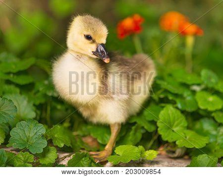 Cute little duckling over green grass background