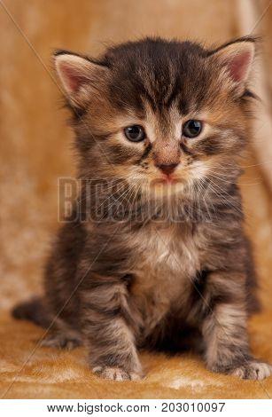 Sad little kitten over dirty mustard color background