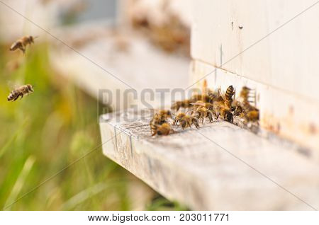 Bee flying to hive in apiary. The bees enter the hive.