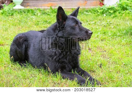 Caucasian Shepherd dog lies on the green grass. Space under the text. 2018 year of the dog in the eastern calendar Concept: parodist dogs, dog friend of man, true friends, rescuers.