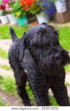 dog of Zwergschnauzer breed with black hair and uncut ears and tail. Close-up. Space under the text. 2018 year of the dog in the eastern calendar Concept: parodist dogs, dog friend of man, true friends, rescuers.