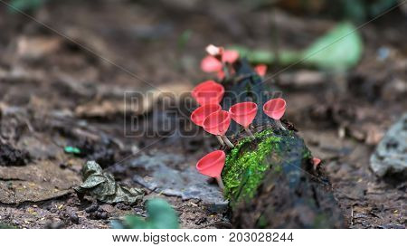 Red mushroom or Champagne mushroom in rain forest.