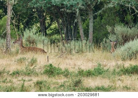 long shot of wild mom and baby deer laid down in the wilderness