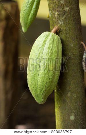 Cacao Fruit, Raw Cacao Beans, Cocoa Pod On Tree
