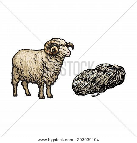 vector sketch cartoon style horned ram and cutted lamb wool set. Isolated illustration on a white background. Hand drawn animal with big twisted horns. Cattle farm cloven-hoofed livestock animal poster
