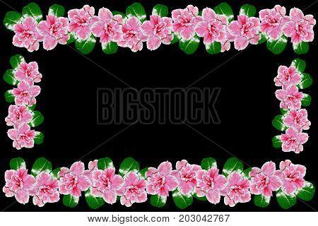 Bright azalea flowers isolated on black background.