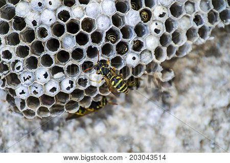 donkey bee, wild bees, nest of donkey bees, dangerous poisonous bees, wild donkey bees in honeycomb