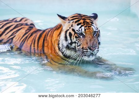 A tiger is lying in the swimming pool
