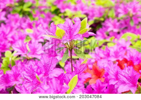 Pink Azalea flower blossom on stem in gardren