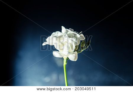 A Beautiful White Freesia On A Dark Background