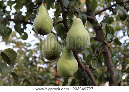 Ripe pears on tree branch in the organic garden. Close up view of Pears grow on pear tree branch with leaves under sunlight. Selective focus on pears