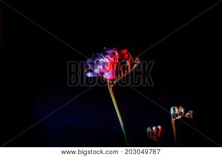 A Beautiful White Freesia On A Dark Background Lit With Red And Blue Light