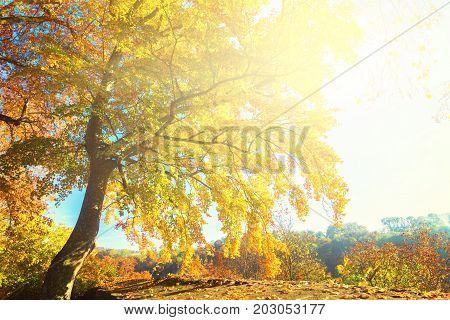 Vibrant yellow Alder golden fall tree at sunny fall day, retro toned