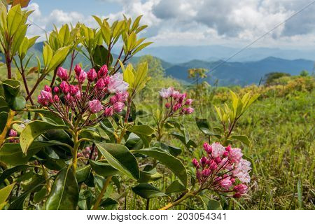 Mountain Laurel Buds on Siler Bald along the Appalachian Trail