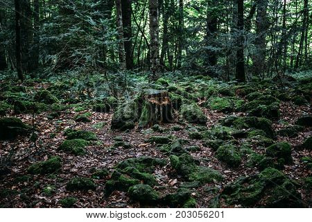 dark mysterious forest, with stump in center of frame, toned, hipster melancholic landscape