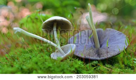 three pasthyrella candolleana mushrooms in the forest