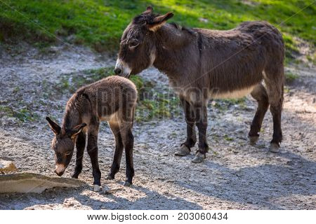 Young donkey with mother on the grassland