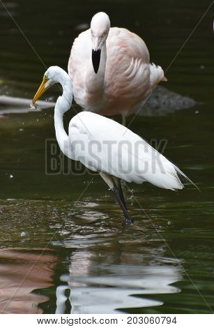 Beautiful White Heron Swallowing Lunch in a Pond