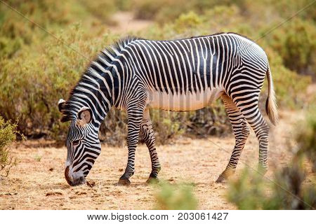Grevys zebras in Samburu national reserve in Kenya