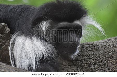 Fantastic close up look at a colobus monkey sleeping in a tree.