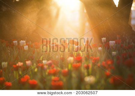 Beautiful tulip flower under morning sunrise bouquet of tulips. colorful tulips. tulips in spring time.