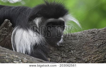 Resting mantled guereza monkey resting on the trunk of a tree.