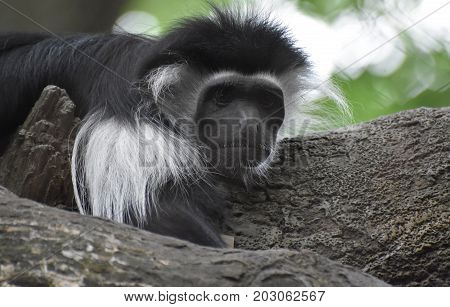 Beautiful face of a colobus monkey laying on a tree.