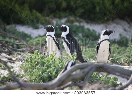 three penguins chilling in the sun.