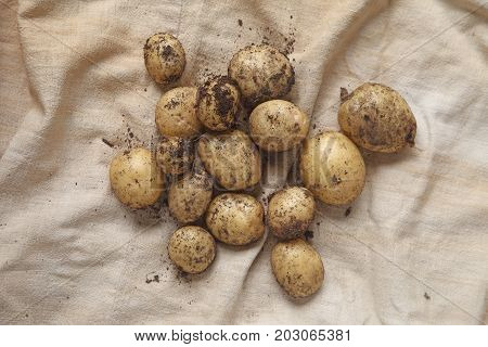 Freshly dug potatoes on burlap from overhead