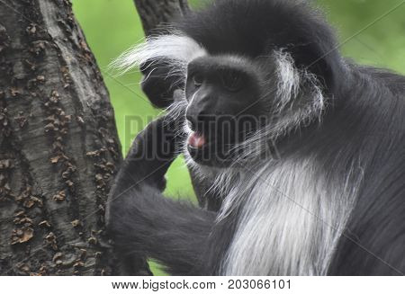 Pink tongue in an open mouth of a black and white colobus monkey.