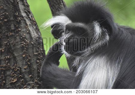 Great face of a colobus monkey posing during a tree climb.