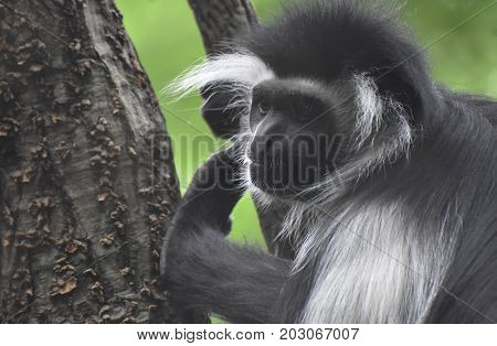 Face of a colobus monkey with lots of expression in a tree.