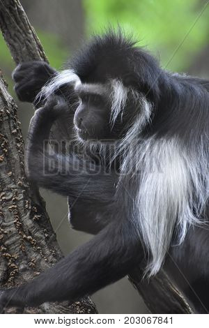Black and white colobus monkey perched in a tree.