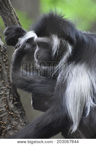 Attractive colobus monkey that is considered an old world monkey.