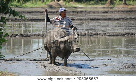 DAVAO ORIENTAL, PHILIPPINES--MARCH 2016: A farmer plows the muddy ricefield in Banaybanay, Davao Oriental with a water buffalo, called carabao in the Philippines.