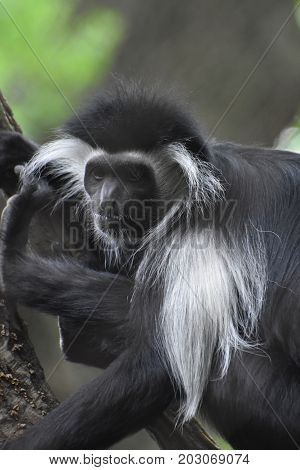 Mantled guereza with black and white fur in a tree.