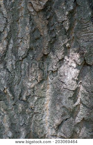 Cracked Uneven Surface Of Old Tree Bark