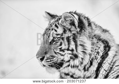 Siberina tiger portrait in black and white. Closeup amur tiger from side.