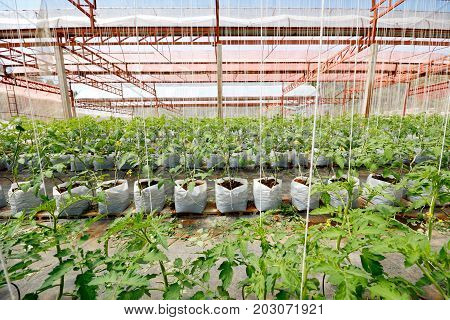 Tomato trees growing by hydroponics technique in the greenhouse