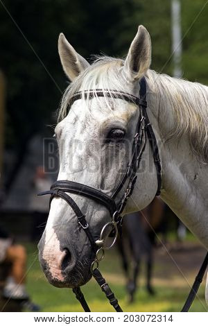 Portrait of a thoroughbred grey horse, Caucasus