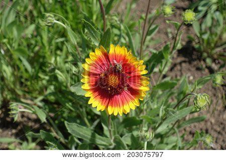 Bee On Flower Head Of Gaillardia Aristata