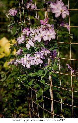 Blooming clematis on a lattice in Botanical garden.  Purple flowers, blooming ivy
