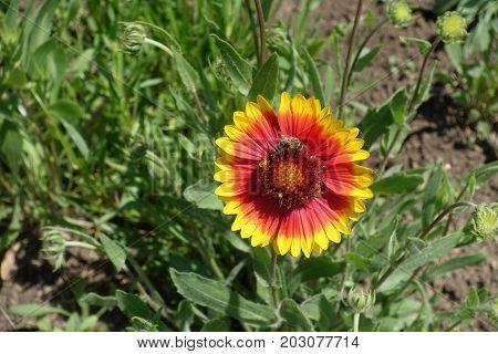Honey Bee Pollinating Flower Of Gaillardia Aristata