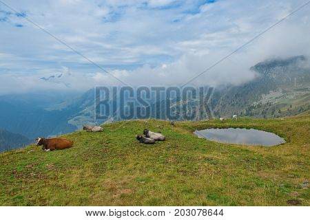 Cows Grazing In The Bergamo Mountains In Italy With A Puddle To Drink