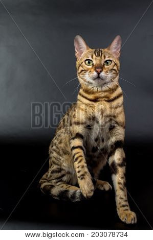 Bengal Cat On A Black Background In The Studio, Isolated, Bright Spotted Cat