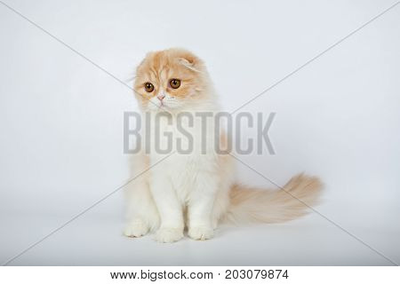 Fold Long-haired Ginger Cat On A White Background, Studio Photo